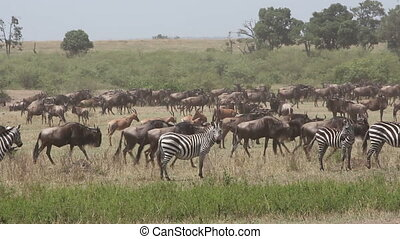 Wildebeest migration - Migrating blue wildebeest...