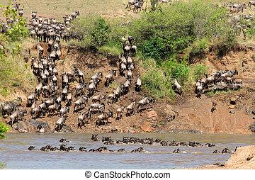 Wildebeest migration - Migratory blue wildebeest...