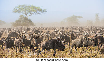 Wildebeest migration. The herd of migrating antelopes goes on dusty savanna. The wildebeests, also called gnus or wildebai, are a genus of antelopes, Connochaetes.