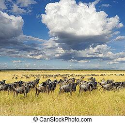 wildebeest, nemzeti park, közül, kenya, afrika