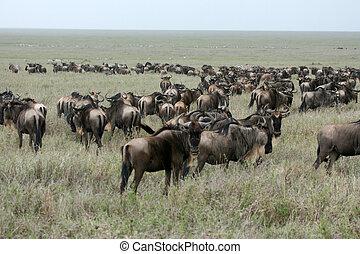 wildebeest, -, serengeti, szafari, tanzánia, afrika