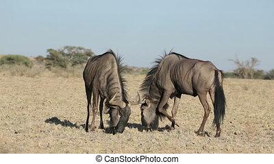 Wildebeest territorial display - Territorial display of two...