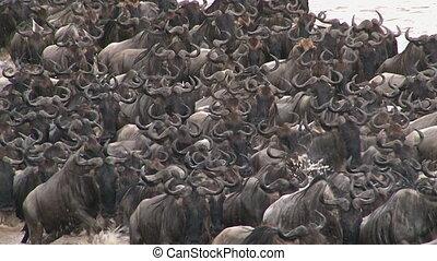 Wildebeests (Connochaetes taurinus) crossing the Mara River