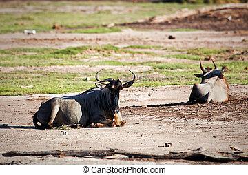 Wildebeests, Gnu on African savanna, Kenya