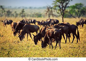 Wildebeests herd, Gnu on African savanna