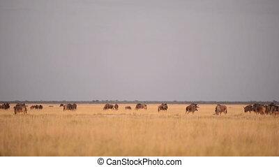 Wildebeests in Africa