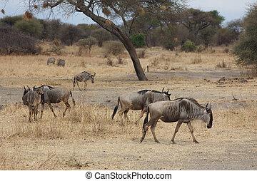 wildebeests, parc, tarangire, national