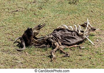 Wilder beast Carcass - African Wilder Beast Carcass in...
