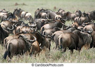 Wilderbeast - Serengeti Safari, Tanzania, Africa -...