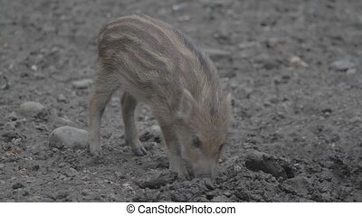 wildes schwein, baby