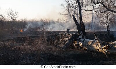 Wildfire - Forest fire, large burned trunk and flames on ...