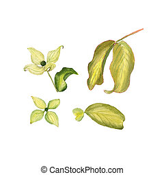 Wildflower Cornus flower in a watercolor style isolated. Aquarelle wild flower for background, texture, wrapper pattern, frame or border