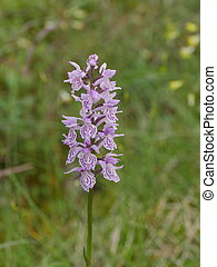 wildflower exotic orchid orchis in the nature