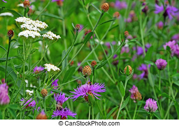 Wildflower field - Common (Black) Knapweed field and a white...