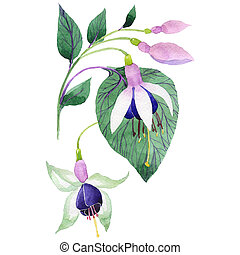 Wildflower fuchsia flower in a watercolor style isolated.