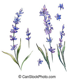 Wildflower lavander flower in a watercolor style isolated.