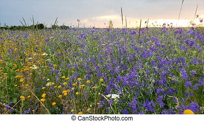Wildflower meadow field with sunny summer day. olorful...