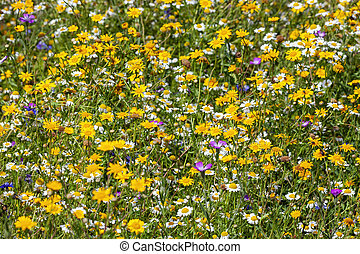 Wildflower meadow summer flowering plants with yellow and white daisy summertime flowers during June and September, stock photo image
