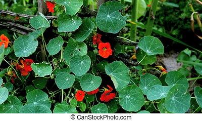Wildflower - nasturtium