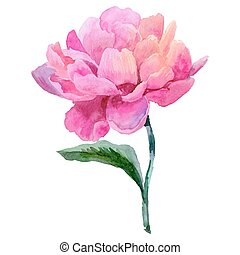 Wildflower peony flower in a vector style isolated. Vector...