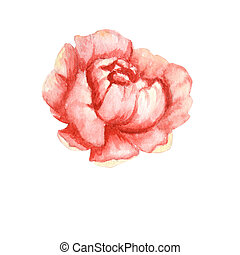 Wildflower peony pink flower in a watercolor style isolated. Aquarelle wildflower for background, frame or border.
