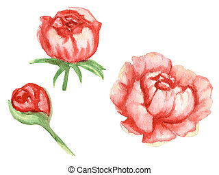 Wildflower peony pink red flowers set in a watercolor style isolated. Aquarelle wildflower for background.