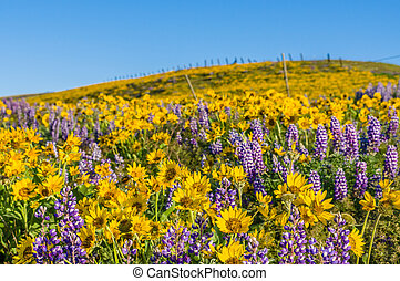 WIldflower praire with Balsamroot and Lupine