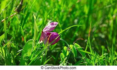 Wildflower - Lone pink wildflower  in the grass