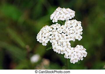 Achillea millefolium, known commonly as yarrow. Wildflower