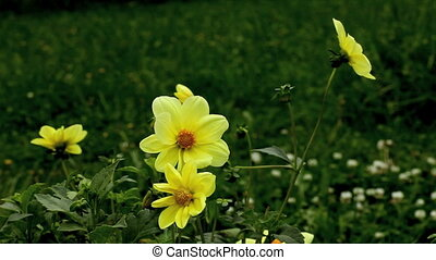 wildflower - yellow dahlia