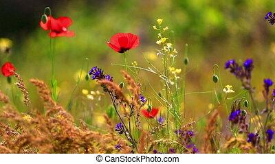 wildflowers, autre, vent, coquelicots