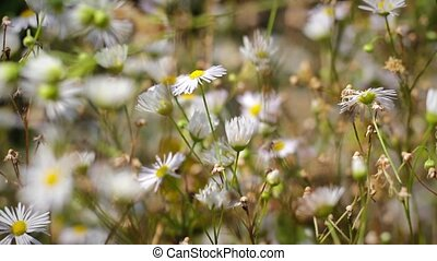 Wildflowers blooming chamomile