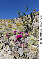 Wildflowers blooming in Anza-Borrego Desert State Park - California