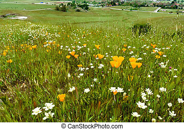 Wildflowers blooming on a meadow in Calero County Park (Rancho San Vicente area), south San Francisco bay area, California