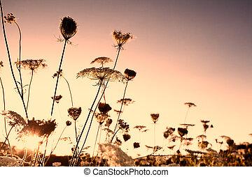 wildflowers, coucher soleil