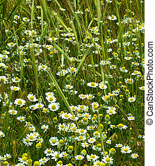 wildflowers daisies and spikelets