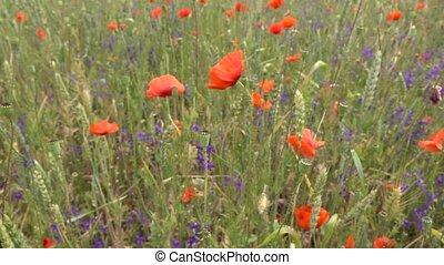 wildflowers, entiers, venteux, day., en mouvement, été, nuageux, hd, 1080p., lent, 240fps, vidéo, pré, mouvement, pavot, troupeaux
