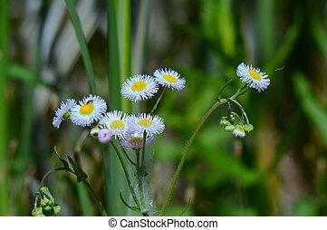 wildflowers, flea-bane, gänseblumen