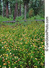Wildflowers - Glacier National Park