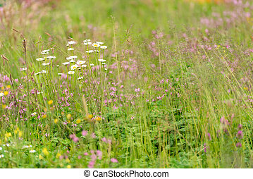 Wildflowers in May in the mountains of Italy