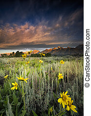 Sunflowers at dawn at Blacktail Ponds Overlook in Grand Teton National park, WY