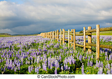 wildflowers in the Bighorn Mountains, Wyoming. Lupine / Lupin along a fence