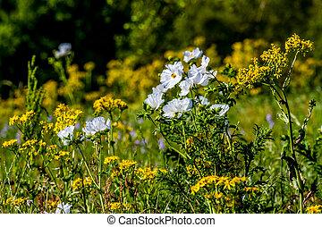 wildflowers., jaune, blanc, texas