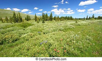 Wildflowers on a breezy day in the Bighorn National Forest of Wyoming.