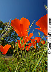 Wildflowers - Orange Poppies, a common wildflower in...