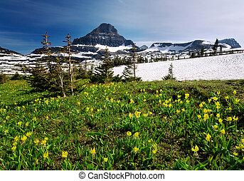 wildflowers, parque, glaciar, nacional, primavera