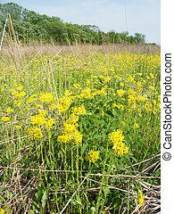 wildflowers, prärie, illinois