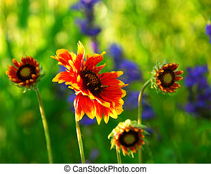 Wildflowers indian blankets blooming in a sunlit green...