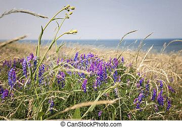 wildflowers, sur, île prince edouard