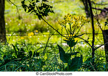 wildflowers., texas